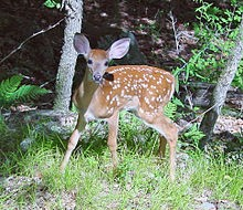 Fawn_in_Forest_edit