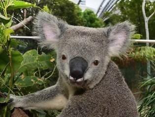 198452-koala