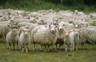 Flock of sheep, New Zealand, Pacific