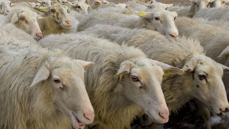 schapen-2_800
