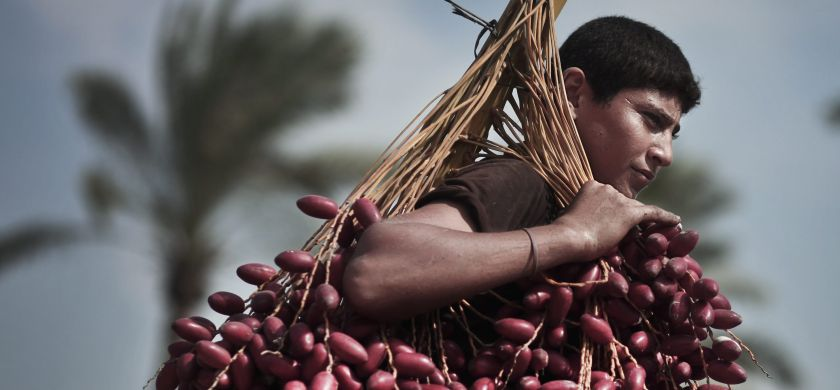 Palestinian date pickers