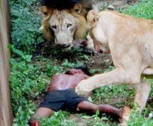 lion-attacking-human-being