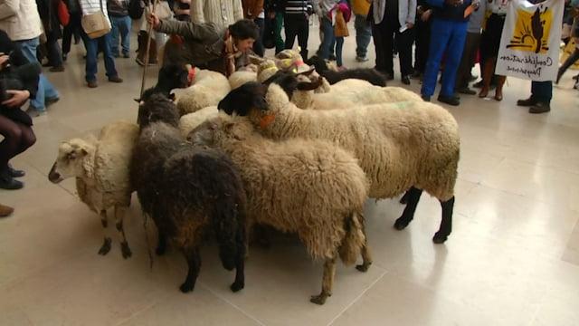 sheep-storm-paris-louvre-farmers-protest