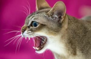 romania-international-cat-show