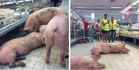 direct.lache-de-cochons-dans-un-supermarche-dagen