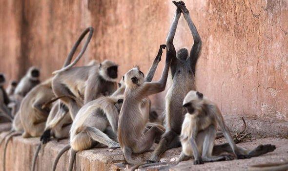 Indian-killer-monkeys-404381