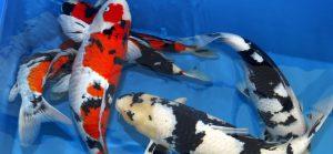 HILVARENBEEK - Diverse exclusieve koikarpers, vrijdag tijdens de Nationale Koi- en Vijverdagen in Hilvarenbeek.  In China en Japan is de koi-karper een heilige vis, die symbool staat voor kracht, wijsheid, doorzettingsvermogen en geluk. ANP PHOTO RUUD VERHALLE