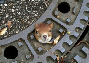 epa03344349 A police handout picture dated 05 August 2012 and released 06 August 2012 showing a squirrel stuck in a manhole cover on a street in Isernhagen, Germany. The squirrel could be rescued by the police and recoverd.  EPA/GERMAN POLICE GROSSBURGWEDEL / HANDOUT  HANDOUT EDITORIAL USE ONLY
