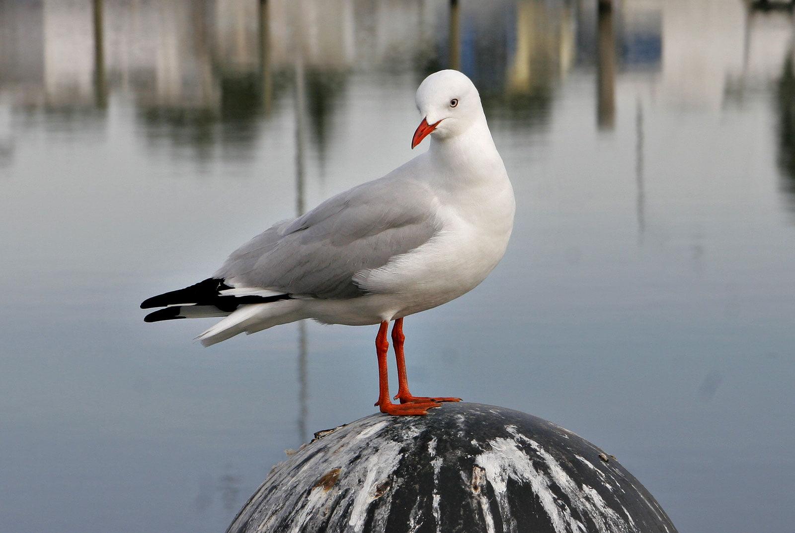 Seagull_on_sale_pier