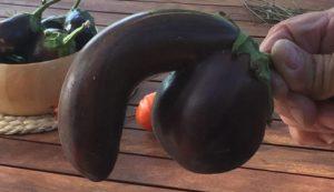phalic-aubergine-for-sale