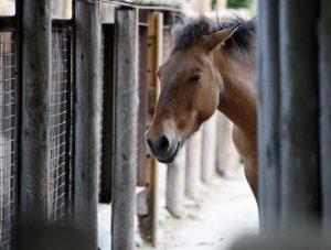 caballo-77