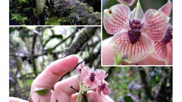 duivels-orchidee-gevonden-in-colombia