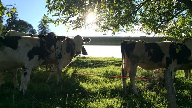 瑞士幫奶牛增產 竟然玩針灸