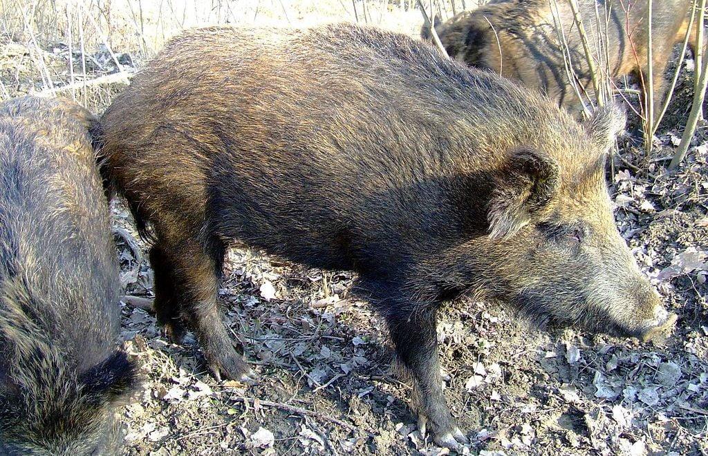 DAESH  企圖伏擊對手 反被野豬踩死