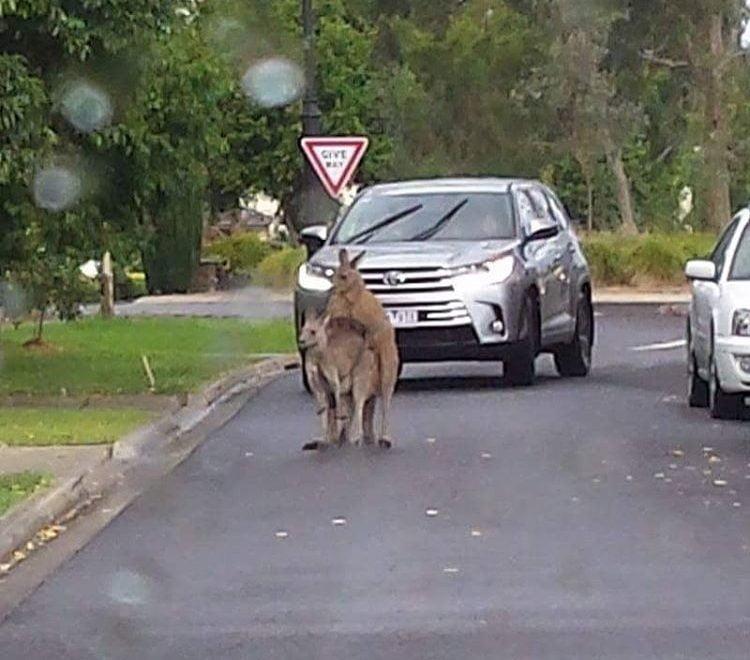 墨爾本部分交通停頓 全因袋鼠當街野戰?