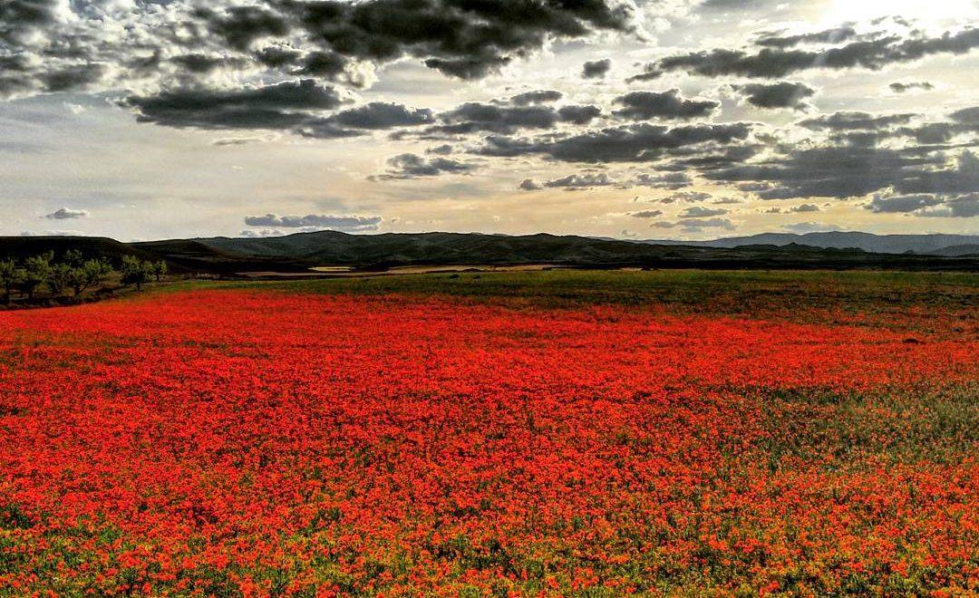 Poppy 花係西班牙係生態災難?