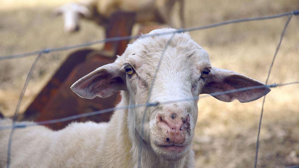 羊在荷蘭等巴士被捕