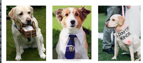 義大利市長禁止狗做「戒指小童」