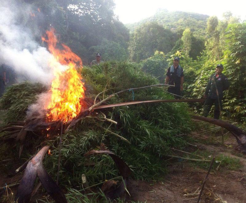 柬埔寨清理大麻 竟然用火燒?