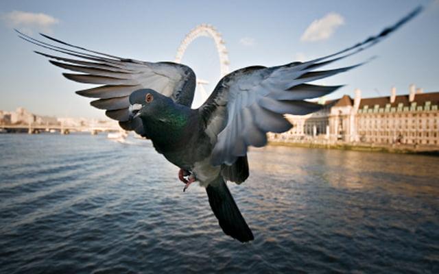 氣候異常 搞到比利時數千賽鴿失蹤?