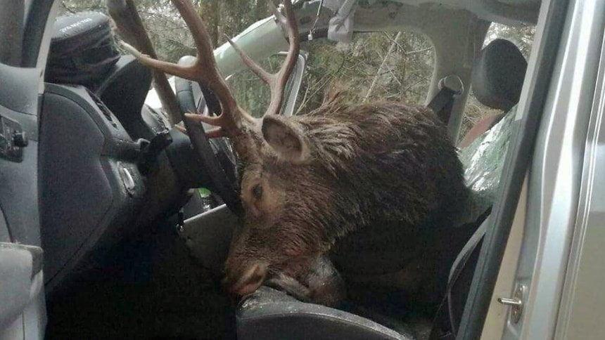 奧地利公路奇景:一隻鹿就咁飛落私家前座 險砸死人