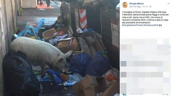 羅馬垃圾堆發現一隻豬 惹政治罵戰