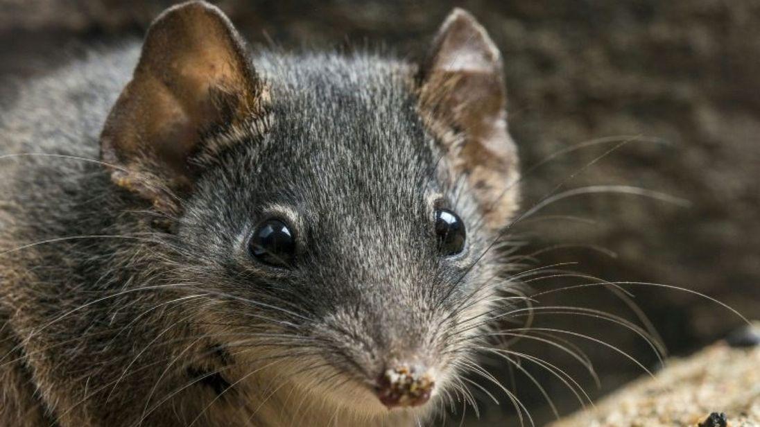 澳洲袋鼠近親 因「自殺式交配行為」瀕臨絕種