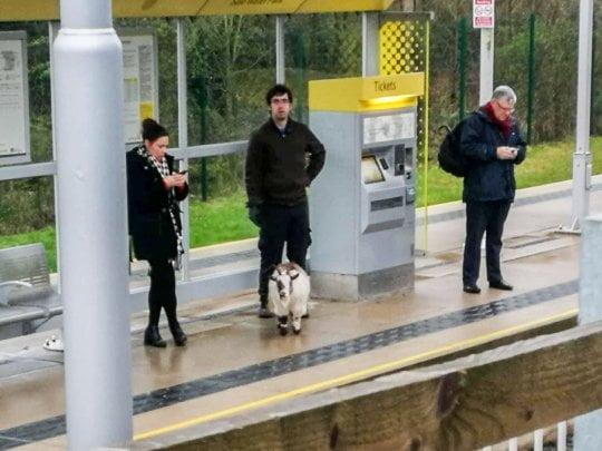 曼市走失山羊 自己識得等上電車?