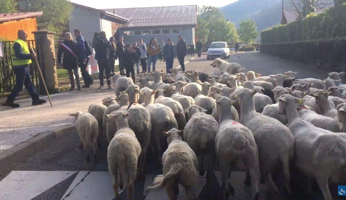 為免殺校 法國村民送羊去讀書?