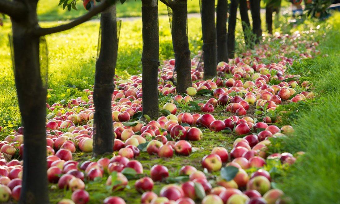 脫歐無工人 1600萬英芥蘭蘋果就咁腐爛