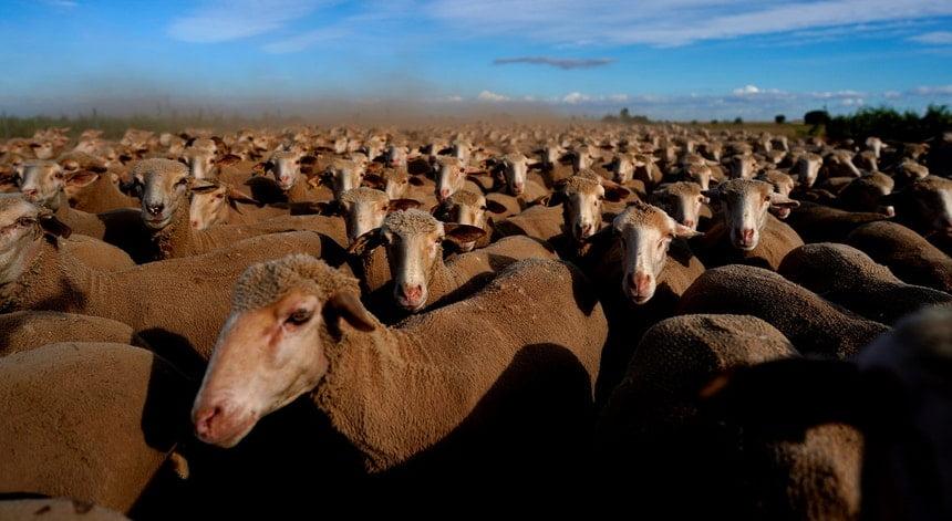 中媒高調發令禁止葡萄牙羊類製品入口 但羊農表示無出口去契丹