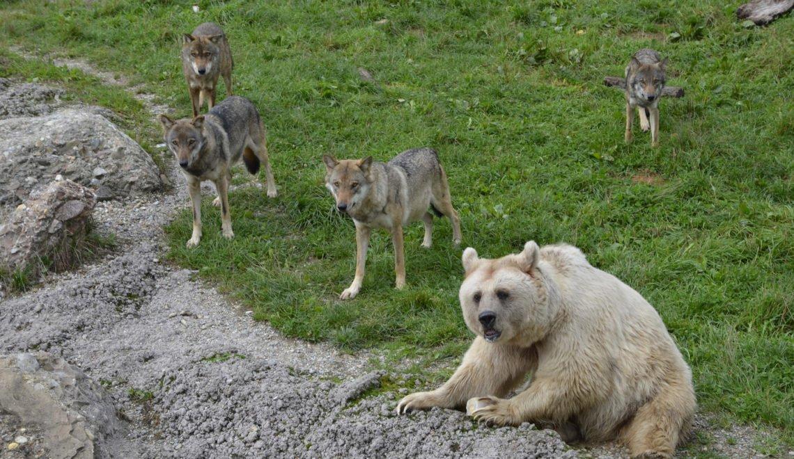 唔知當地動物園熊同狼擺埋一齊 外國人入籍瑞士被拒絕