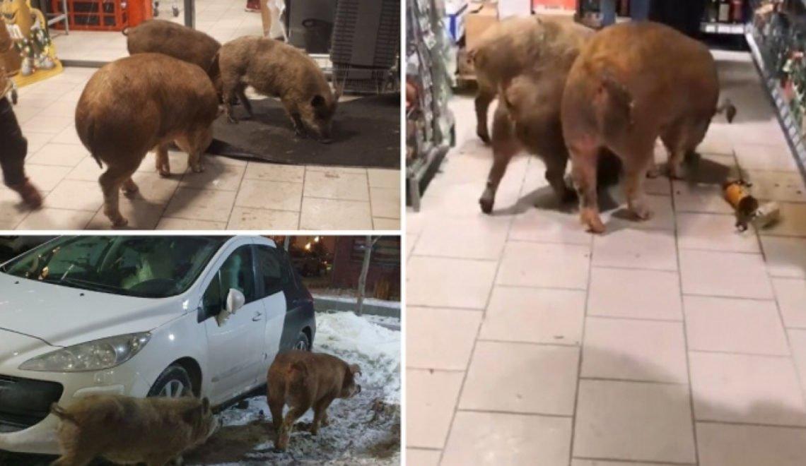 三隻西伯利亞野豬衝入超市瘋狂掃酒