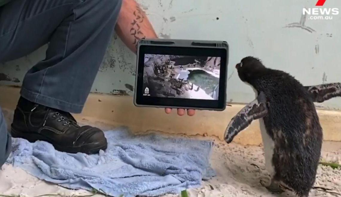 漂流到南半球孤獨企鵝 Pingu 幫手解悶?