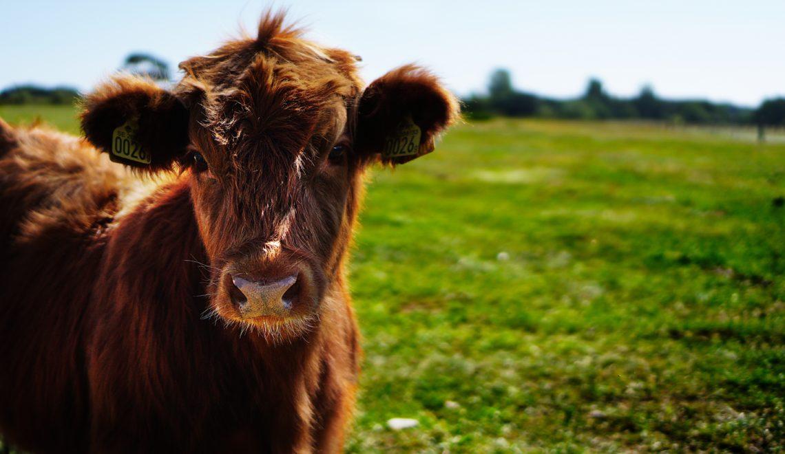 荷蘭組織去歐盟控告愛爾蘭出口小牛違反人道